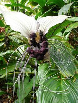 White_bat_plant_2