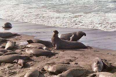 Elephant_seals